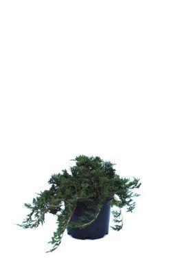 Можжевельник горизонтальный Принц Уэльский (Prince of wales)
