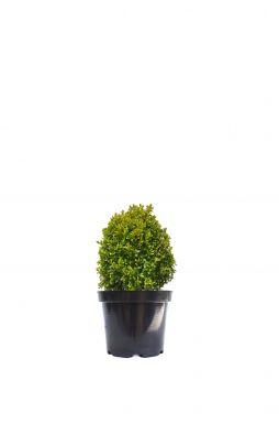 Самшит вечноЗеленый Ротандифолия (Rotundifolia)