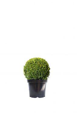 Самшит вечнозеленый Салицифолиа (Salitsifolia)