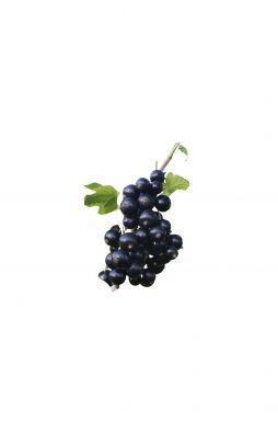 Смородина черная Титания (Titania)