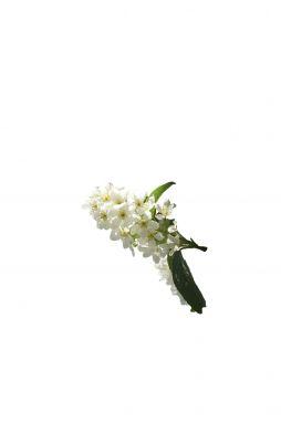 Черёмуха обыкновенная Альберти (Alberti)