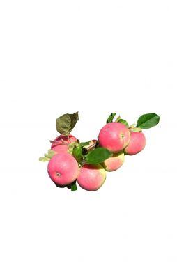 Яблоня Вишневое (осенний сорт)