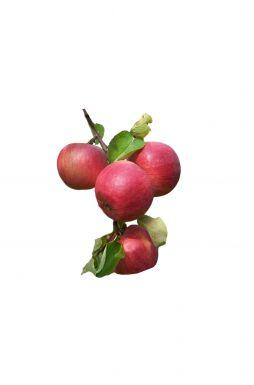 Яблоня Жигулёвское (осенний сорт)