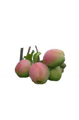 Яблоня Ветеран (осенний сорт)