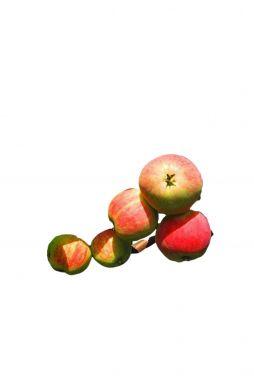 Яблоня Скороплодное (осенний сорт)