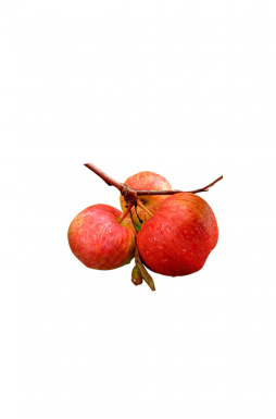Яблоня Оранжевое (осенний сорт)