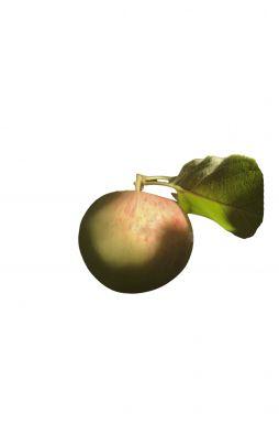 Яблоня Болотовское (зимний сорт)