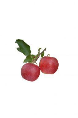 Яблоня Апрельское (зимний сорт)