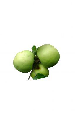 Яблоня Антоновка (зимний сорт)