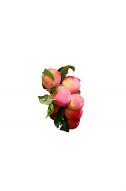 Слива Ренклод Розовый