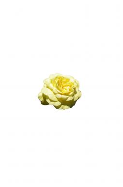 Роза плетистая Казино (Casino)