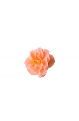 Роза плетистая Вестерленд (Westerland)