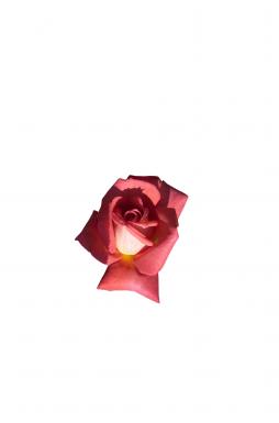 Роза плетистая Шогун (Shogun)