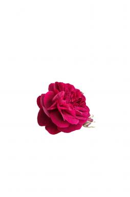 Роза английская Дарси Басселл (Darcey Bassell)