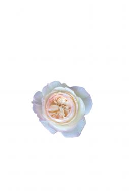 Роза английская Кейра (Keira)