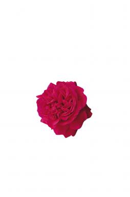 Роза английская Тесс (Tess)