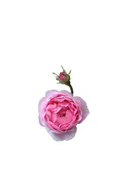 Роза английская Констан (Constance)