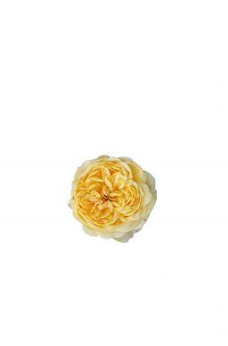 Роза английская Беатрис (Beatrice)
