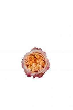 Роза английская Эдит (Edith)