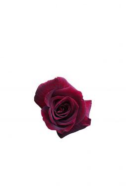 Роза чайно-гибридная Крымская Ночь