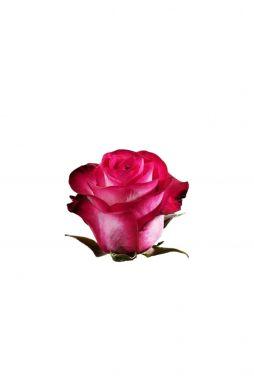 Роза чайно-гибридная Ривьера