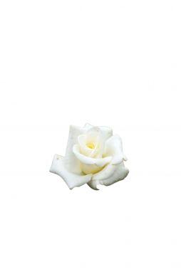 Роза чайно-гибридная Делфи
