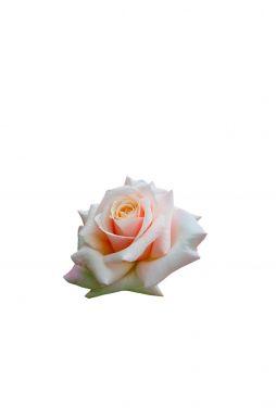 Роза чайно-гибридная Поль Рикар