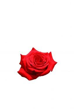Роза чайно-гибридная Кардинал 85