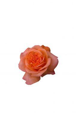 Роза чайно-гибридная Рене Госсини