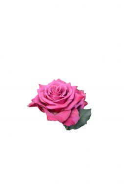 Роза чайно-гибридная Даниэль Ост