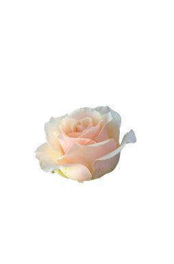 Роза чайно-гибридная Клер Океан