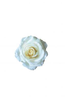 Роза чайно-гибридная Вирджиния