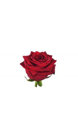 Роза чайно-гибридная Ред Наоми