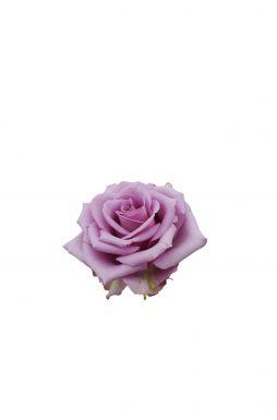 Роза чайно-гибридная Кул Вотер