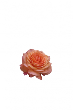 Роза кустовая Бельведер