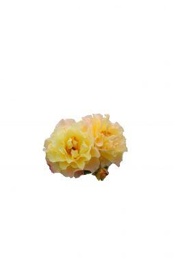 Роза кустовая Ругельда