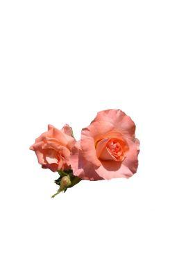 Роза флорибунда Ливерпуль Эхо