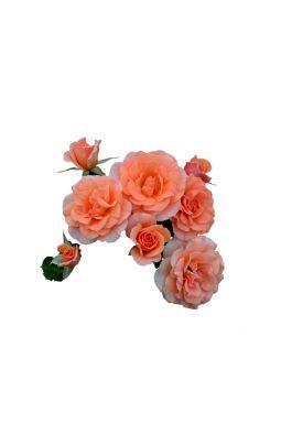 Роза флорибунда Голд Раш