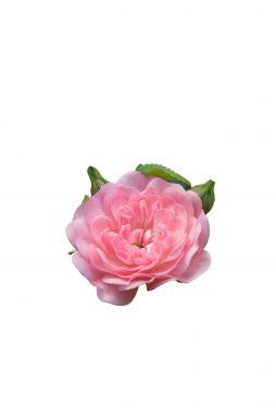 Роза миниатюрная Фейри